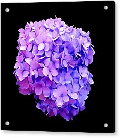 'purple Hydrangea Bloom'  Acrylic Print