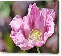 Purple Iceland Poppy Acrylic Print by Suzanne Gaff