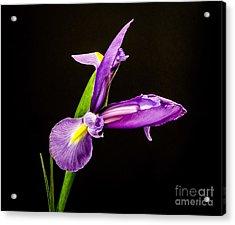 Purple Iris 2 Acrylic Print by Mitch Shindelbower