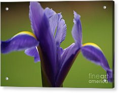 Purple Iris 7 Acrylic Print by Carol Lynch