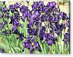 Purple Iris Acrylic Print by Diane Lent