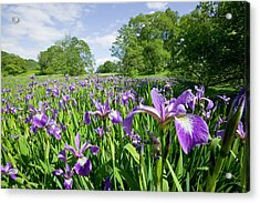 Purple Iris In The Trossachs Scotland Acrylic Print