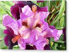 Purple Iris Acrylic Print by Virginia Forbes