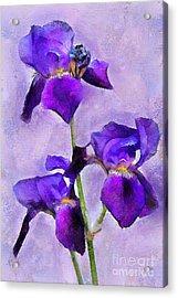 Purple Irises - Painted Acrylic Print