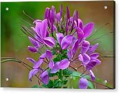 Acrylic Print featuring the photograph Purple Lilly by Jodi Terracina
