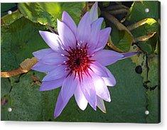 Purple Lily Acrylic Print by Jose Rodriguez