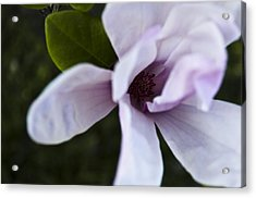 Purple Lily Magnolia Bloom Acrylic Print