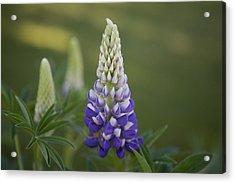 Purple Lupine Acrylic Print by Omaste Witkowski