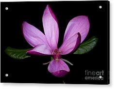 Purple Magnolia Acrylic Print by Nancy Bradley