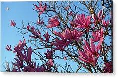 Purple Magnolias Acrylic Print