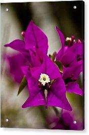 Purple Majestic Pla 504 Acrylic Print