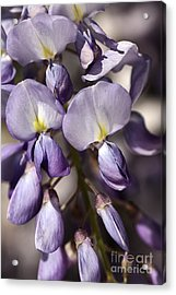 Acrylic Print featuring the photograph Purple Of Wisteria by Joy Watson