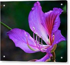 Purple Orchid Tree Flower Acrylic Print