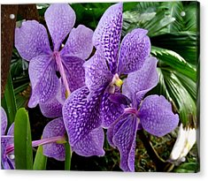 Purple Orchids Acrylic Print by Carey Chen