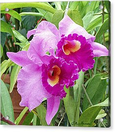 Purple Cattleya Orchids Acrylic Print