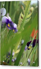 Purple Pansies Acrylic Print by Rebeka Dove