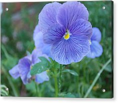 Purple Pansy Acrylic Print by Annette Allman