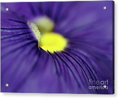 Purple Pansy Acrylic Print by Sabrina L Ryan