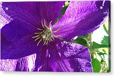 Purple Passion Acrylic Print by Bill Mohler