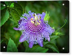 Purple Passion Flower Acrylic Print by Lynn Bauer
