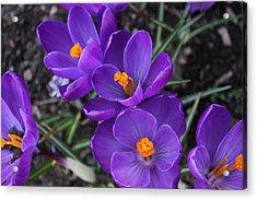 Purple Passion Acrylic Print by Judy Palkimas