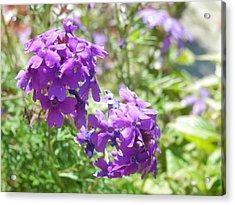 Purple Phlox Acrylic Print by Pema Hou