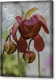 Acrylic Print featuring the photograph Purple Pitcher Plant by Betty Denise