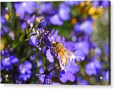 Purple Pollination  Acrylic Print