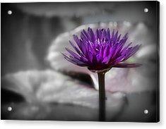 Purple Pond Lily Acrylic Print by Lynn Sprowl
