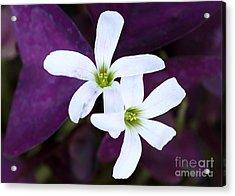 Purple Queen Flowers Acrylic Print