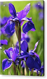 Purple Reign Acrylic Print by Sandy Molinaro