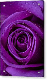 Purple Rose Close Up Acrylic Print by Garry Gay