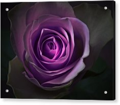 Purple Rose Flower - Macro Flower Photograph Acrylic Print