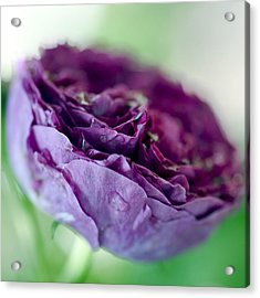 Purple Rose Acrylic Print by Frank Tschakert