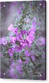 Purple Sage Acrylic Print by Deb Halloran