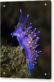 Purple Seaslug Acrylic Print by A. Martin UW Photography