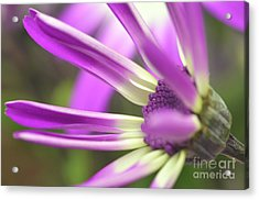 Purple Senetti I Acrylic Print by Cate Schafer