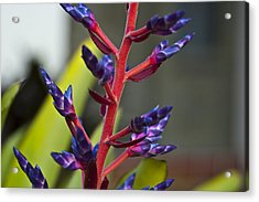 Purple Spike Bromeliad Acrylic Print by Sharon Cummings