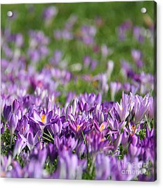 Purple Spring Acrylic Print by Karin Ubeleis-Jones