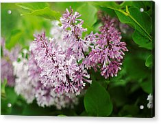 Acrylic Print featuring the photograph Purple Syringa Flowers by Suzanne Powers