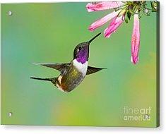 Purple-throated Woodstar Acrylic Print by Anthony Mercieca
