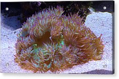 Acrylic Print featuring the photograph Purple Tipped Anemone by Brigitte Emme