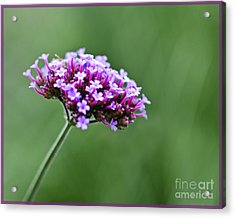 Acrylic Print featuring the photograph Purple Top Flower by Maria Janicki