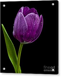 Purple Tulip Acrylic Print by Shirley Mangini
