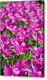 Purple Tulips Acrylic Print by Gynt