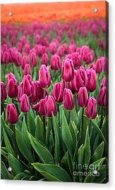 Purple Tulips Acrylic Print by Inge Johnsson