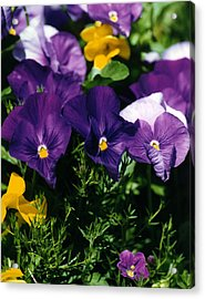 Purple Violas Acrylic Print by Robert Lozen