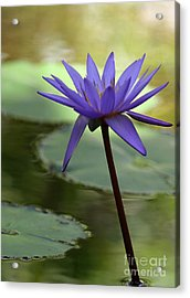 Purple Water Lily In The Shade Acrylic Print by Sabrina L Ryan