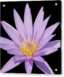 Purple Water Lily Acrylic Print by Kim Hojnacki