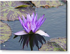 Purple Water Lily With Lily Pads One Acrylic Print by J Jaiam